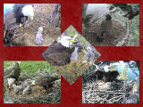 pictures of eaglets from 2009
